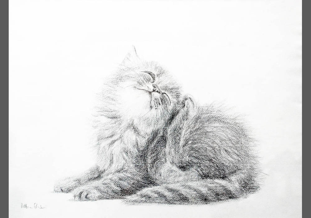 Maincoon